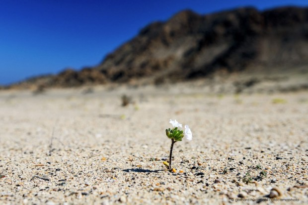 First flowers sprouting in the Atacama desert after a rare rainfall